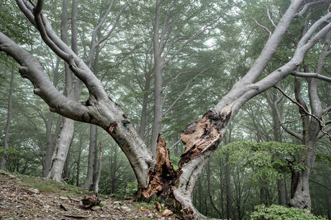 Magnificent Beech by Ted Leeming