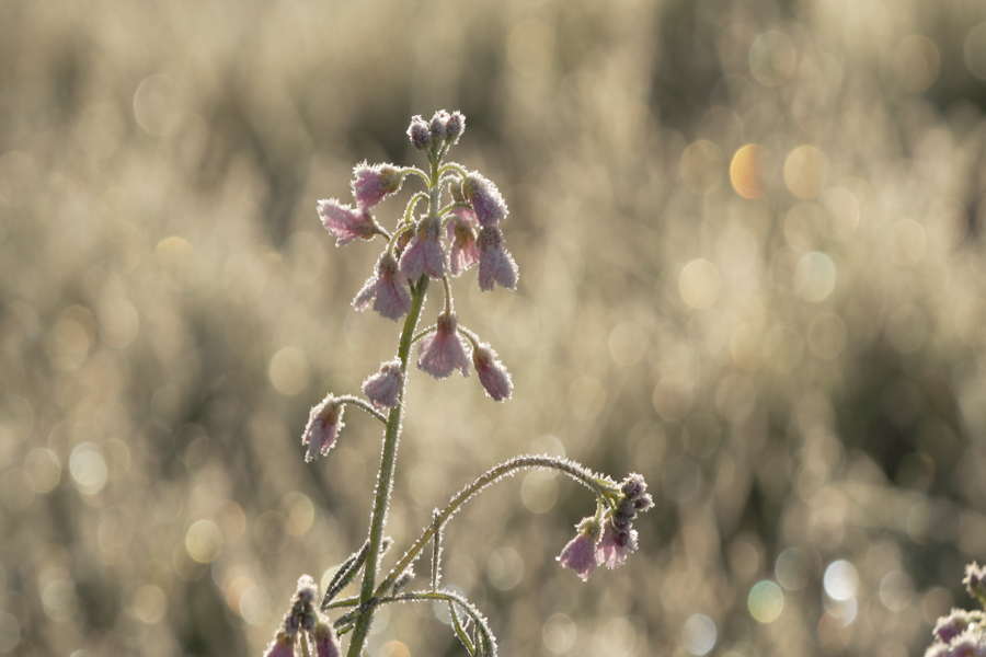A frost-encrusted Cuckoo Flower